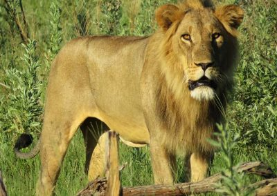 male lion in botswana's moremi game reserve