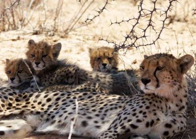 cheetah and cubs resting