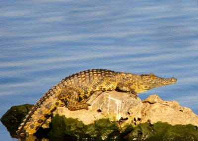 nile crocodile warming up